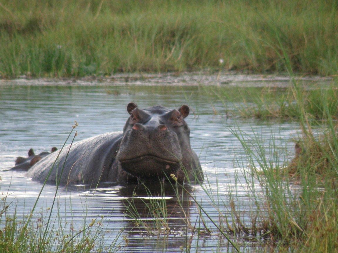 Hipopotamo Delta do Okavango, Botsuana - Viagem Para África- Foto Pixabay