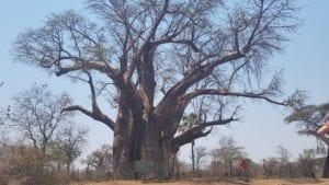 Arvore Baobab com mais de 1000 anos, Victoria Falls, Zimbabwe