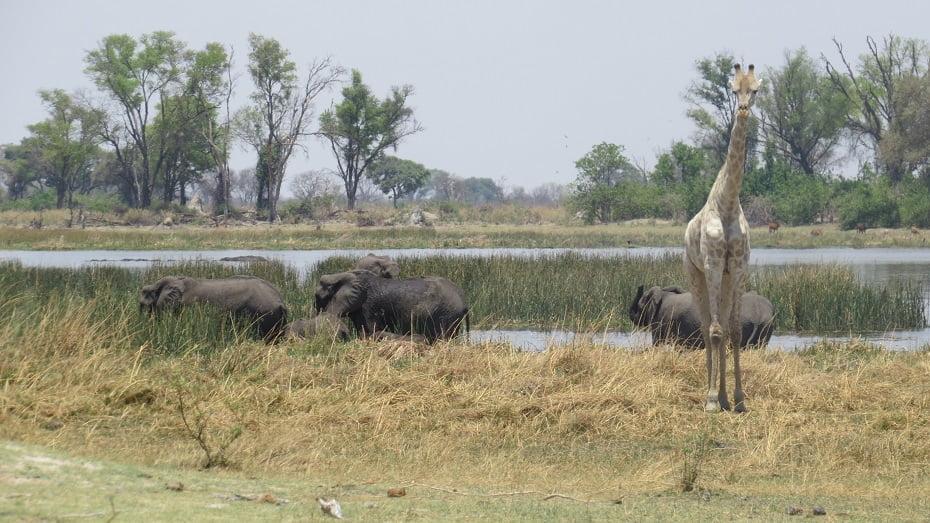 Girafa e Elefantes Walk Safari no Delta do Okavango, Botswana