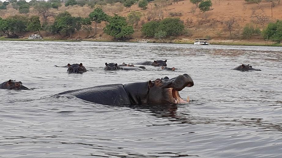 Hipopotamos no Rio Chobe, Overland Tour em Botswana