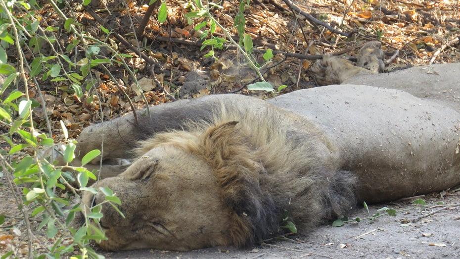 Leãozinho tirando uma soneca no Parque Chobe, Botswana