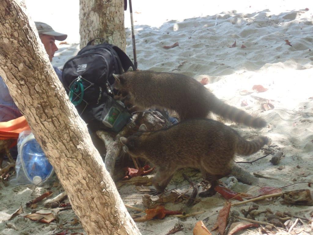 Guaxinins roubando a mala do povo no Parque Manuel Antônio, Costa Rica