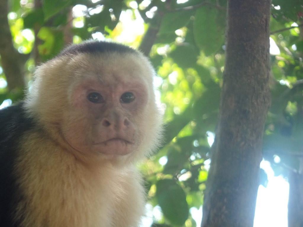 Macaquinho no Parque Manuel Antônio, Costa Rica