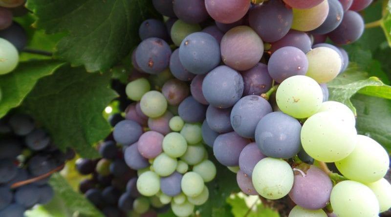 Uvas nas videiras de Yacochuya em Cafayate, Norte da Argentina